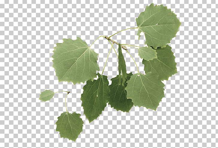 Twig European Aspen Tree Leaf PNG, Clipart, 3d Computer.