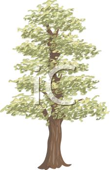 Tall Aspen Tree.