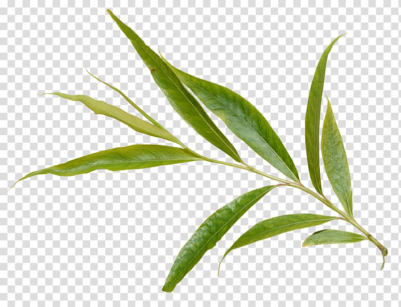 Salix alba European aspen Salix arctica Leaf Tree.