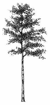 Quaken aspen tree clipart.