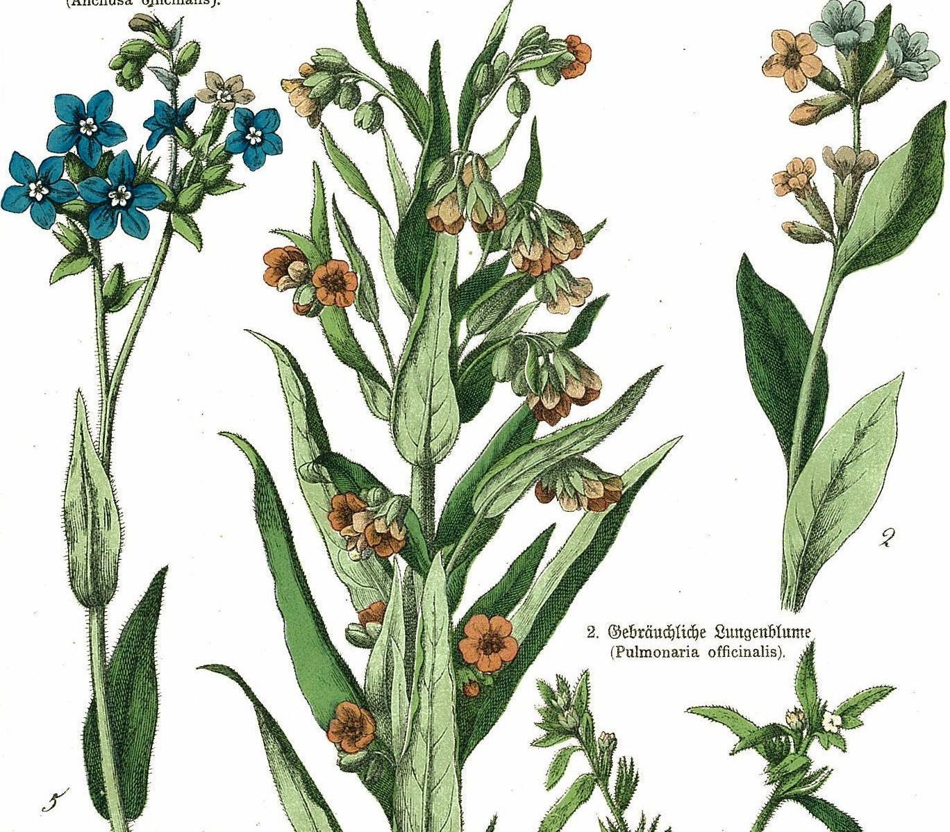 1886 Honeywort Madwort Forget.