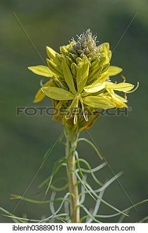 """Stock Photograph of """"King's Spear or Yellow Asphodel (Asphodeline."""