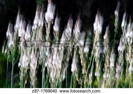 Stock Photography of Gam?n blanco Asphodelus albus Almansa.
