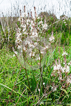 White Asphodel, Asphodelus Albus Stock Photo.