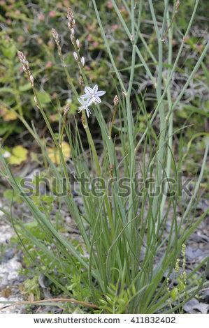 Xanthorrhoeaceae Stock Photos, Royalty.