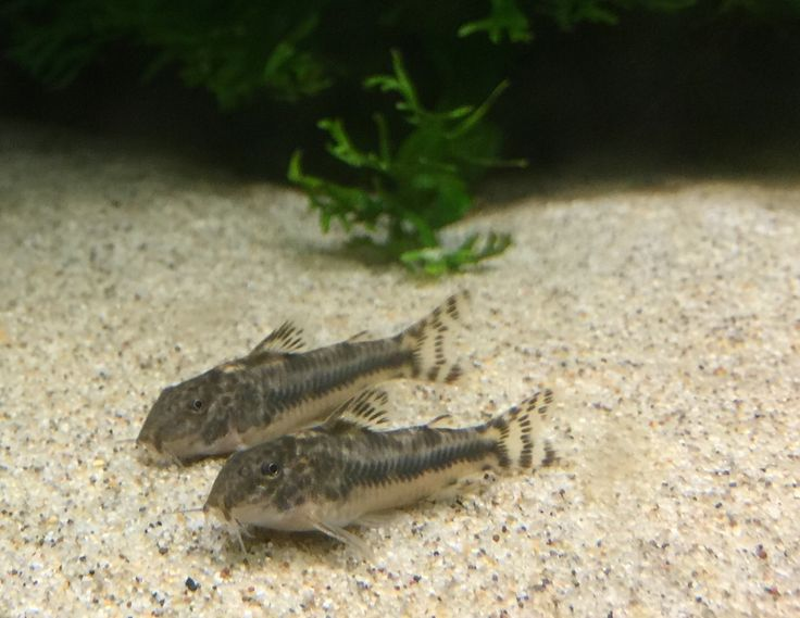 1000+ images about Corydoras on Pinterest.