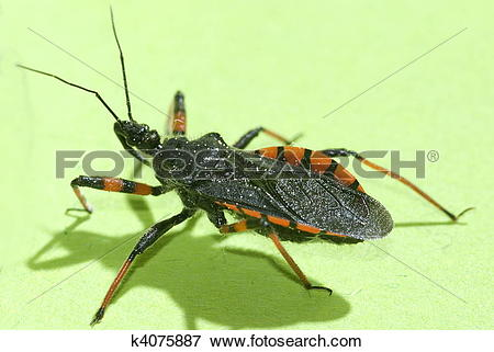 Picture of spined assassin bug (Rhinocoris annulatus) k4075887.