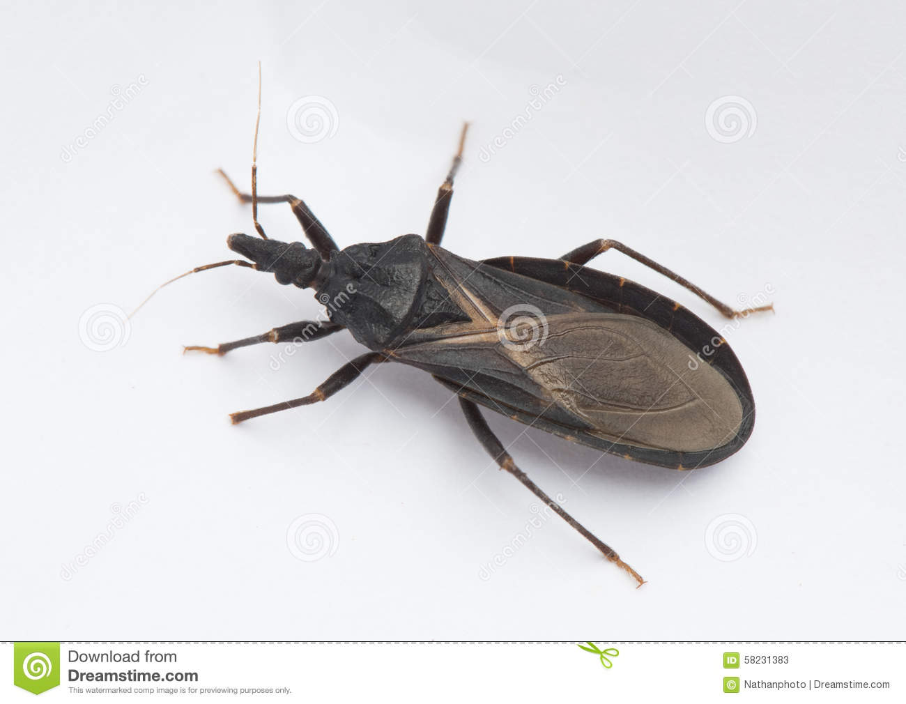 Assassin Bug Royalty Free Stock Image.