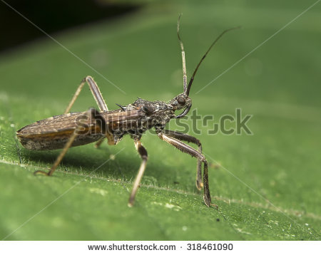 Assassin Insect Stock Photos, Royalty.