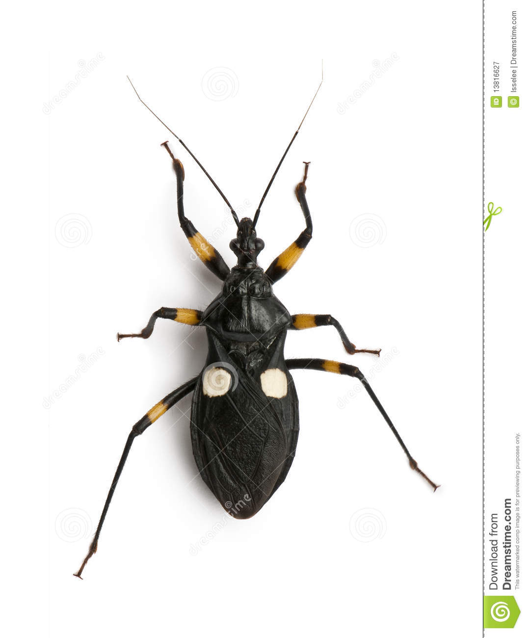 Platymeris Biguttatus Is A Genus Of Assassin Bug Royalty Free.