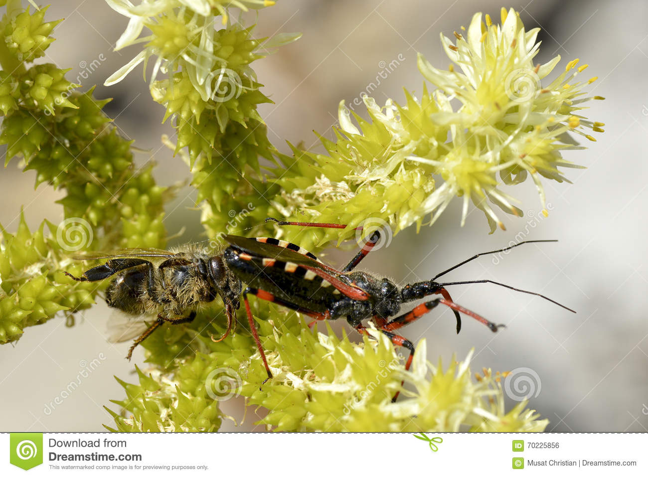 Assassin Bug Eating A Japanese Beetle Stock Photo.