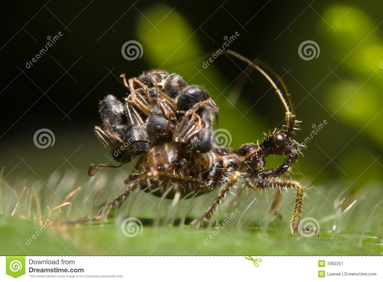 Juvenile Assassin Bug Stock Photo.
