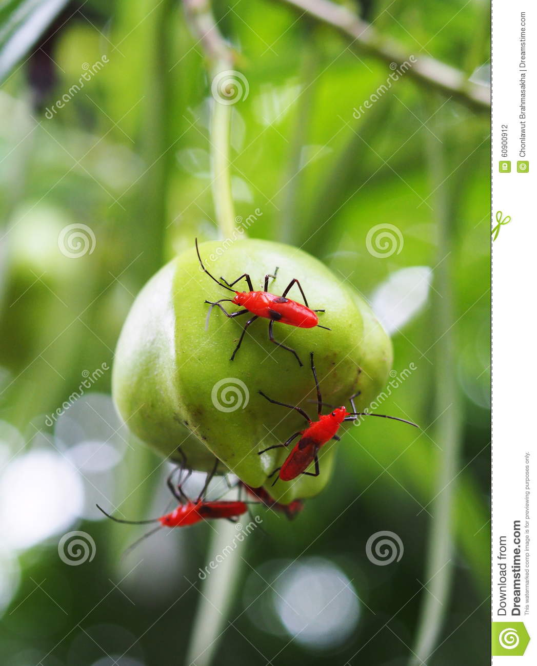 Red Assassin Bug Stock Photo.