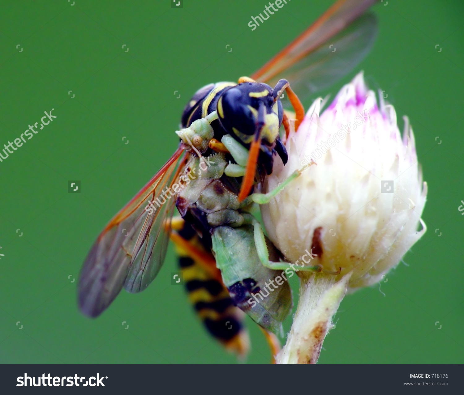 Assassin Bug Eating A Wasp Stock Photo 718176 : Shutterstock.