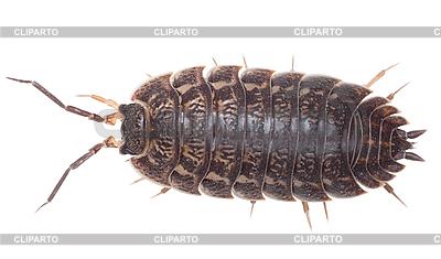 Centipede.