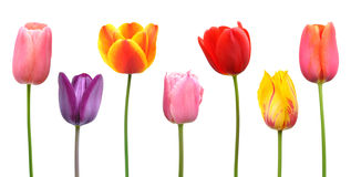 Assorted Spring Tulips Flowers Clip Art Stock Photo.