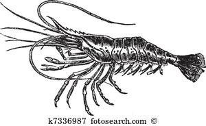 Astacus astacus Clipart and Illustration. 8 astacus astacus clip.
