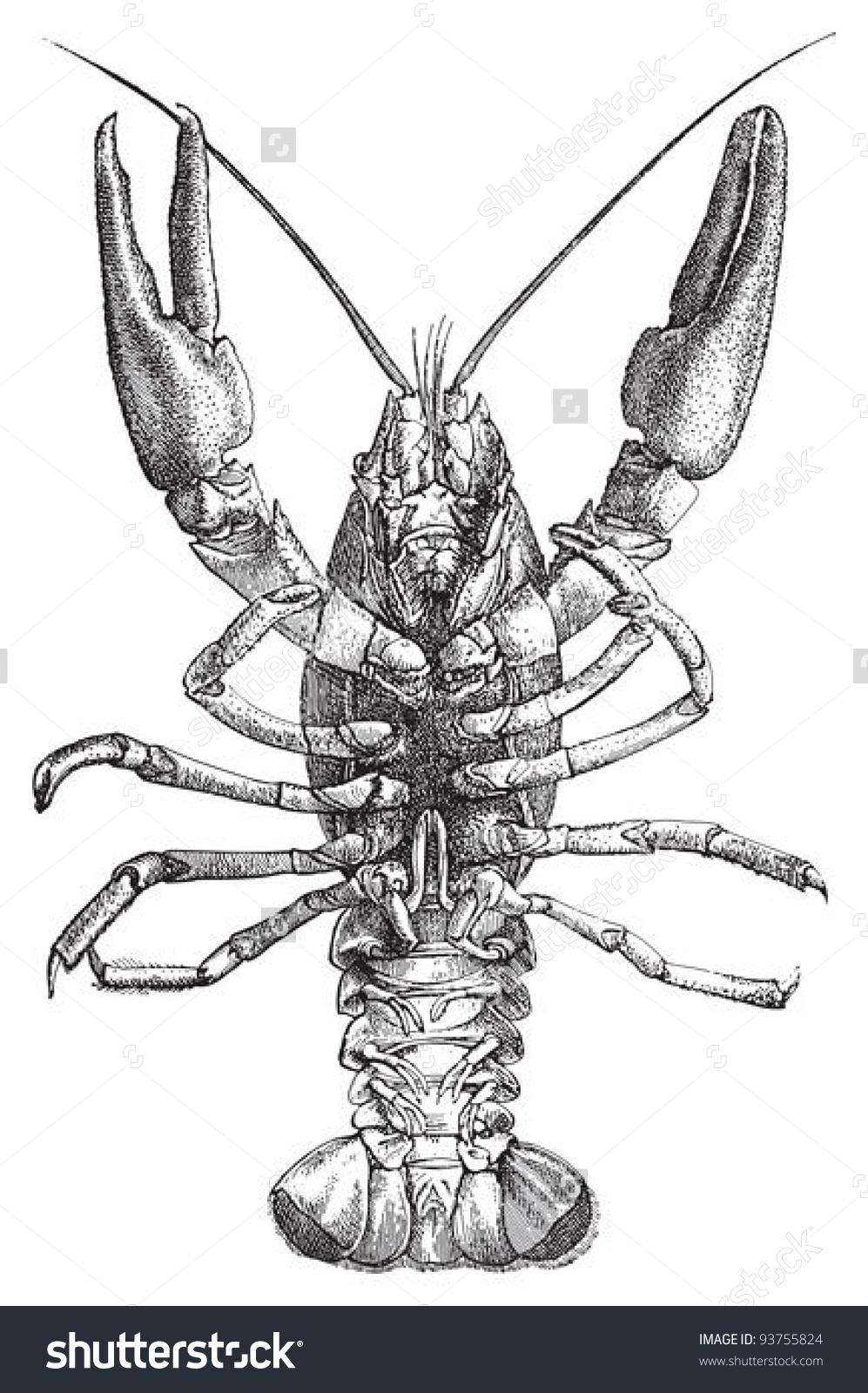 European Crayfish Astacus Fluviatilis Vintage Illustration Stock.