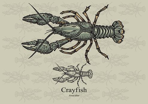 Astacus Astacus Clip Art, Vector Images & Illustrations.