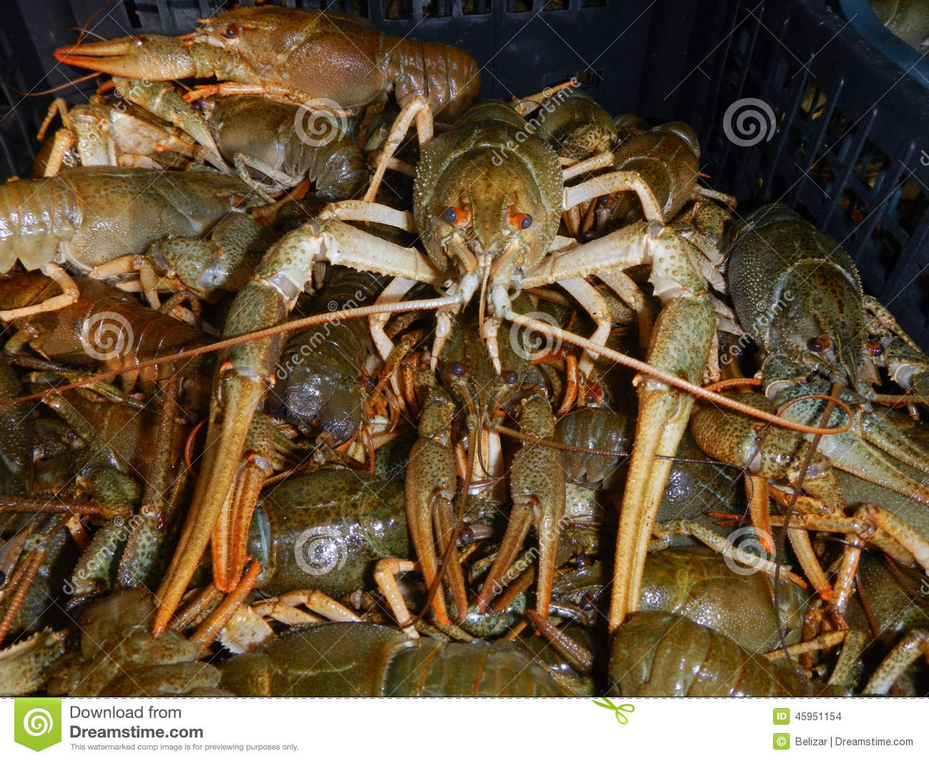Crayfish (Astacus Leptodactylus) Stock Photography.