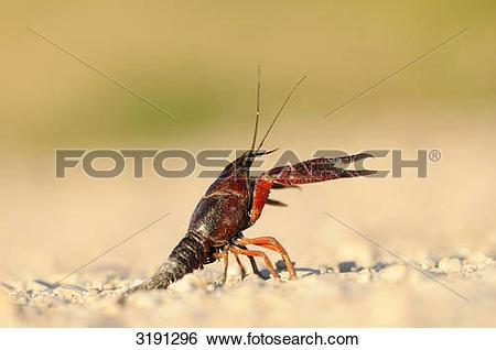 Stock Images of Galician crayfish (Astacus leptodactylus) on.