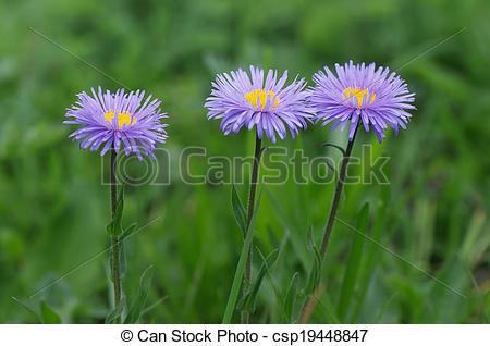 Stock Photo of Flowers Aster alpinus.