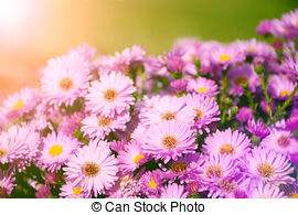 Picture of Alpine Aster.