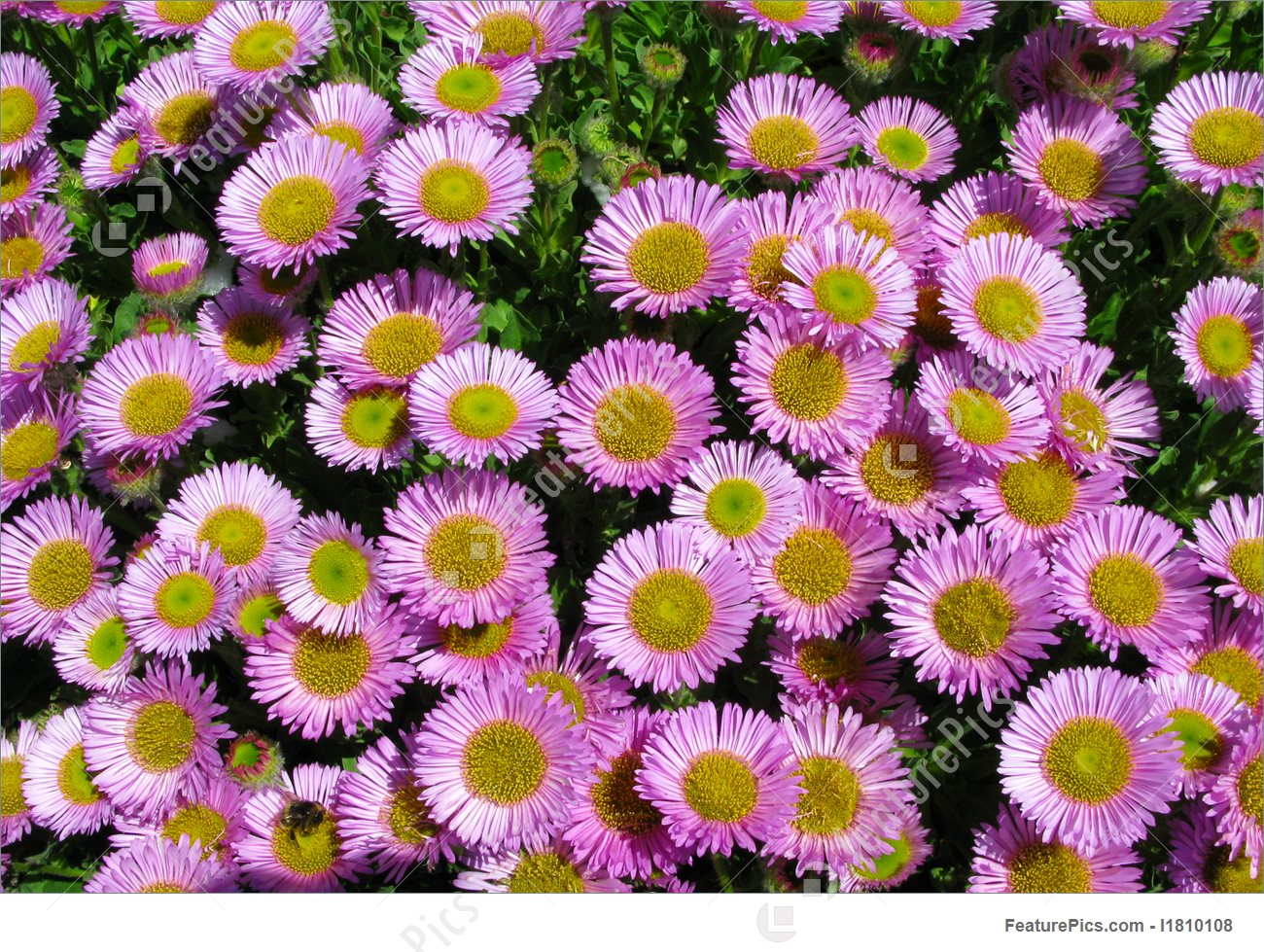 Pink Aster Picture.