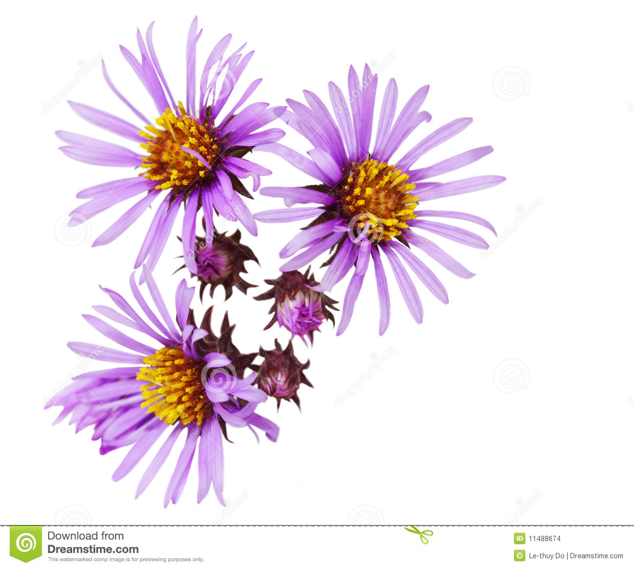 Aster Stock Images.