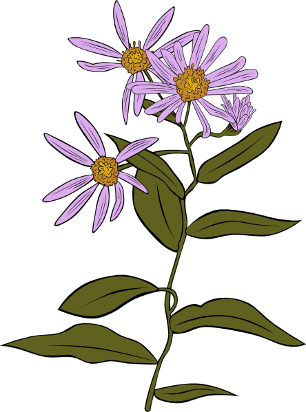 Aster Clipart.