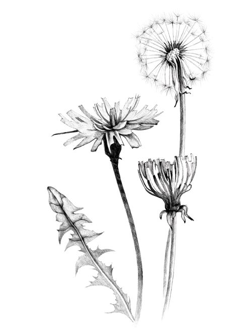 vintage flower clipart, black and white clip art, aster.