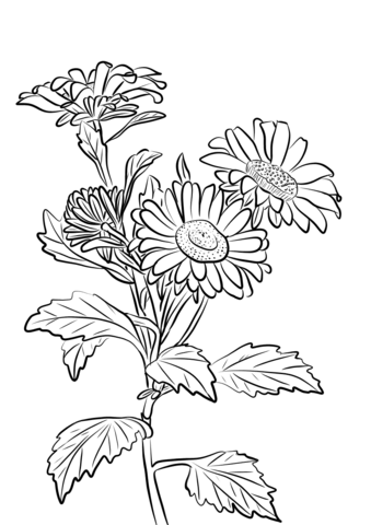China Aster coloring page.