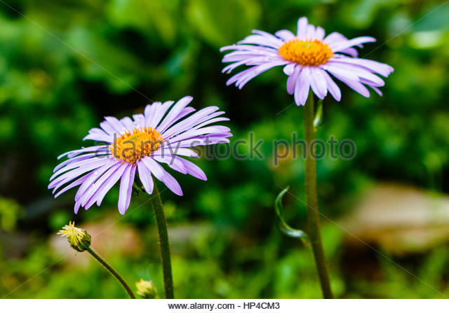Colorful Aster Flowers Stock Photos & Colorful Aster Flowers Stock.