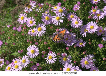 Bluish Aster Aster Tongolensis Family Compositae Stock Photo.
