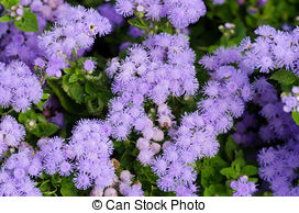 Stock Photography of Bluish Aster (Aster tongolensis), family.