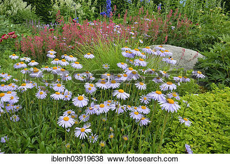 """Pictures of """"Bed with asters (Aster tongolensis 'Berggarten') and."""