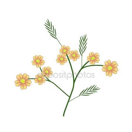 Asteraceae.