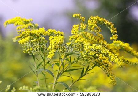Asteraceae Family Stock Photos, Royalty.