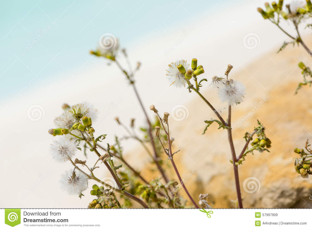 Asteraceae Or Compositae Flower Plant Stock Photo.