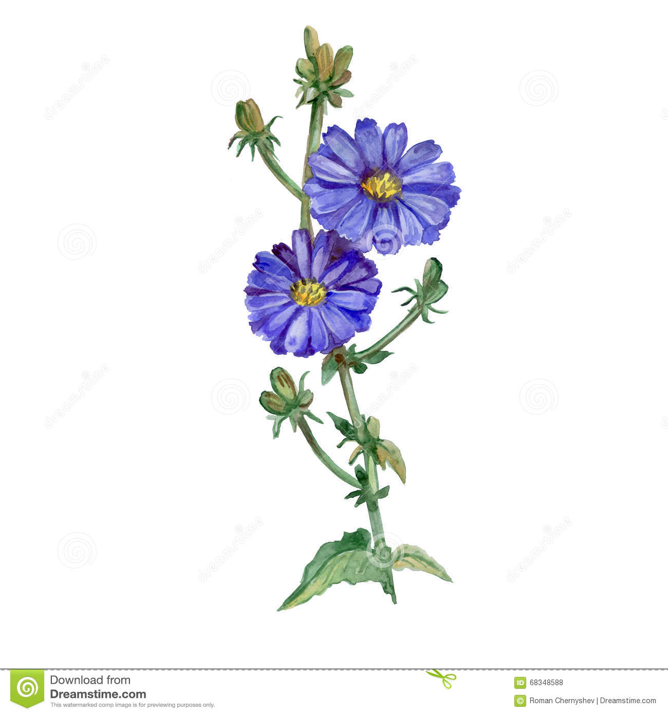 Watercolor Drawing Of Chicory, Succory Flowers Blossom And.