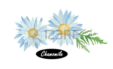 Watercolor Chamomile Or Camomile. Daisy.