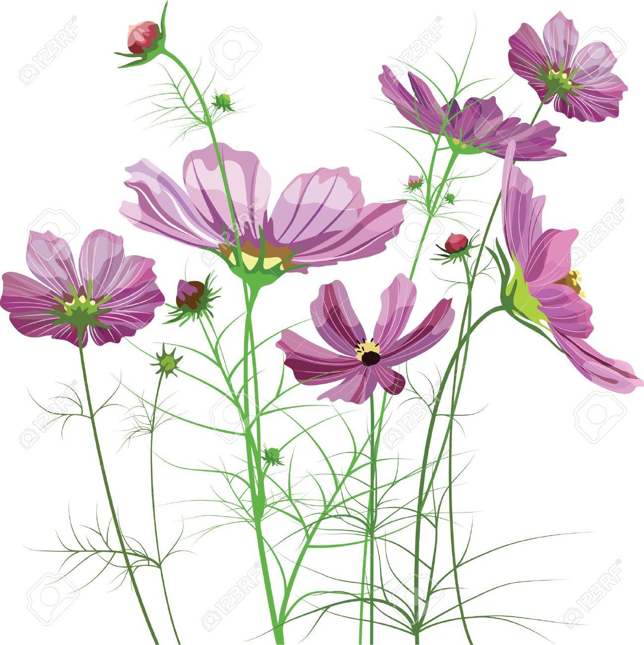 Vector Garden Flowers, Cosmos Bipinnatus Royalty Free Cliparts.