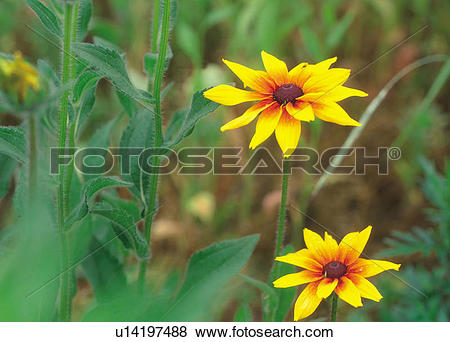 Pictures of yellow flower, flowers, Asteraceae, plants, plant.
