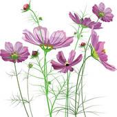 Asteraceae Clip Art.