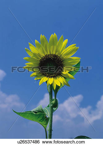 Stock Images of plants, Sunflowers, plant, flowers, flower.
