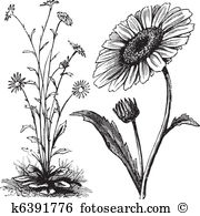 Asteraceae Clipart Illustrations. 204 asteraceae clip art vector.