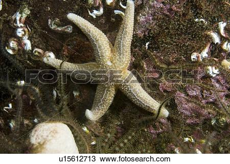 Stock Photo of Common Starfish (Asterias rubens), common starfish.
