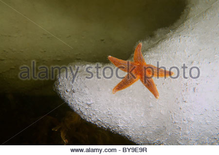 Asterias Vulgaris Stock Photos & Asterias Vulgaris Stock Images.