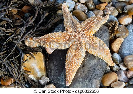 Stock Image of Common Starfish (Asterias Rubens) washed ashore at.
