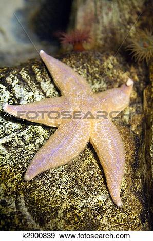 Stock Photograph of The common sea star (Asterias rubens) is the.